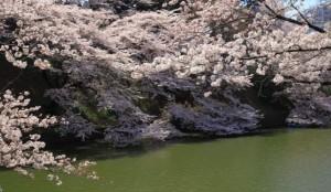 千鳥ヶ淵 桜 ソメイヨシノ