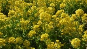 名古屋市農業センター 菜の花