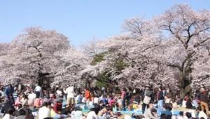 新宿御苑 桜 花見 混雑
