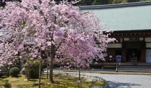 嵐山 桜 二尊院