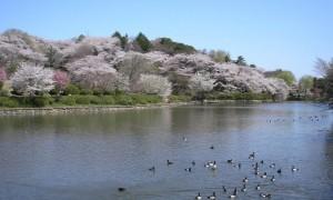 三ツ池公園 桜 鳥