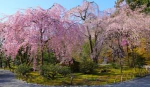 嵐山 桜 天龍寺