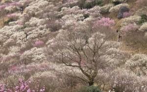 湯河原梅林 景色