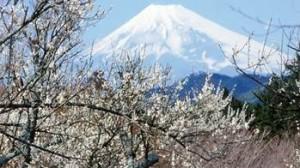 富士山 梅 コラボレーション