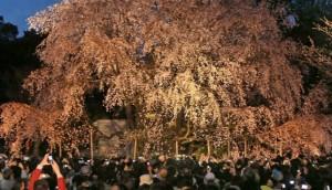 六義園 桜 花見