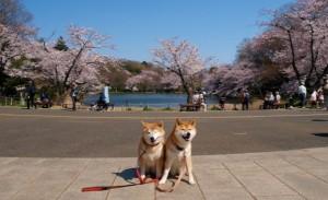 三ツ池公園 桜 犬