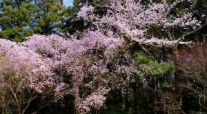嵐山 桜 大河内山荘