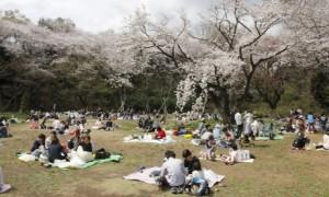 三ツ池公園 桜 混雑