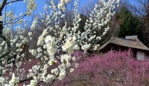 筑波山 梅の花