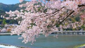 嵐山 桜の花