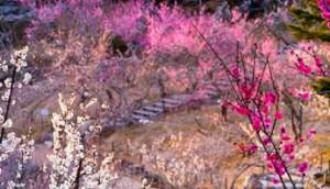 修善寺 梅の花