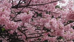 桜 ソメイヨシノ 満開