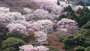 嵐山 桜 満開