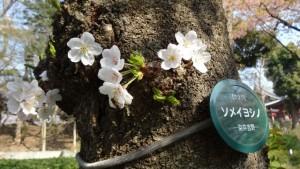 上野公園 ソメイヨシノ