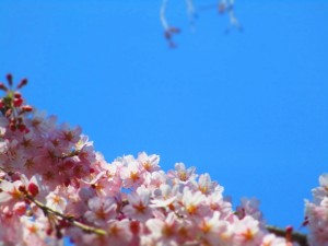 桜 満開 青空