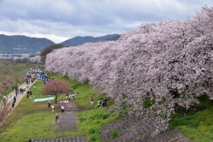 淀川河川公園背割堤地区 満開の桜並木と花見客