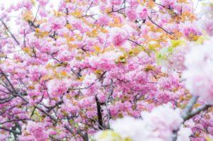 大阪造幣局 桜の通り抜け 桜