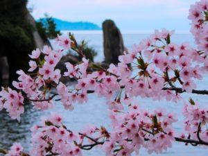 海津大崎 桜 琵琶湖