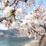 海津大崎の桜2018の見頃と開花状況。お花見クルーズは?