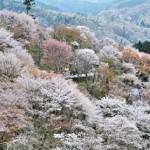 一目千本!吉野山の桜2019の見頃と開花!ライトアップや駐車場は?
