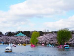 上野公園 不忍池 桜 アヒルボート