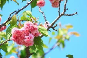 春日井 八重桜