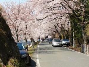 海津大崎 桜 道路 車
