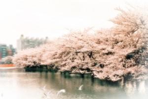 上野恩賜公園 桜 不忍池