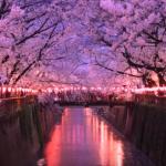 目黒川の桜まつり2017の開花状況。クルーズやライトアップは?