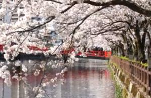 小田原城 学橋 桜