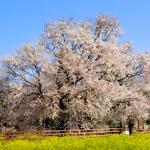 熊本一心行の大桜2020の見頃と開花!さくら植木まつりやライトアップは?