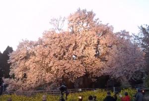 熊本一心行 大桜 ライトアップ