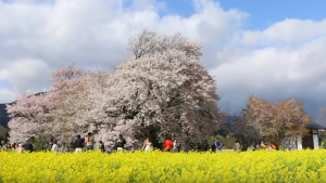 南阿蘇 大桜