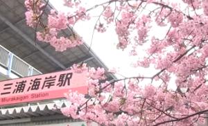 三浦海岸駅 河津桜