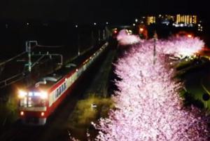 三浦海岸 河津桜 ライトアップ 京浜急行沿線