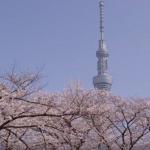 隅田公園の桜2018の開花状況とアクセス。ライトアップや屋台は?