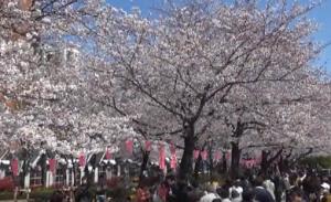隅田公園 桜まつり 台東区