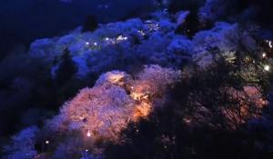 吉野山 桜のライトアップ