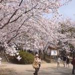 舞鶴公園の桜2019の見頃と開花!ライトアップやお花見の場所取りは?