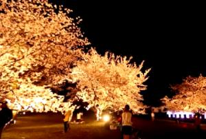 舞鶴公園 桜 ライトアップ