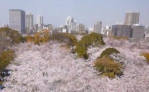 舞鶴公園 桜 満開 ビル