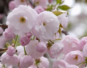造幣局桜の通り抜け 大提灯