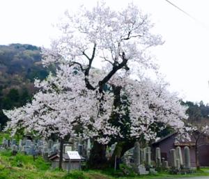 満開の清水の桜