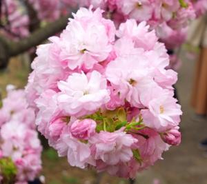 紅手毬 桜