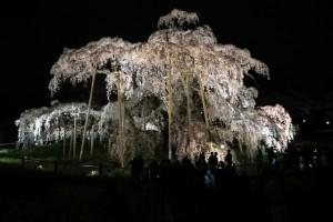 三春滝桜 ライトアップ