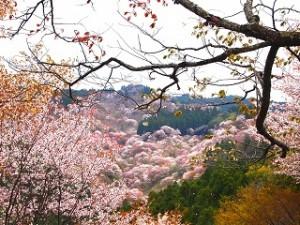 吉野山 満開の桜