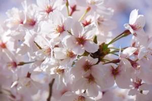 桜 アップ 花