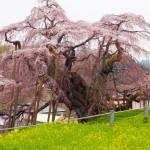 三春滝桜2019の見頃と開花予想!ライトアップ期間や混雑は?