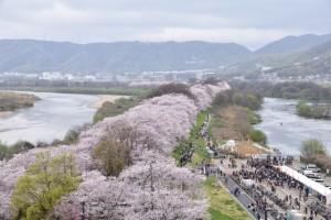 淀川河川公園背割堤地区 桜