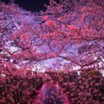 目黒川桜まつり2019!見頃や開花は?花見クルーズやライトアップは?